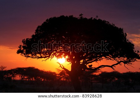 Sunset and silhouette of a monkey in a tree, in Serengeti National Park - stock photo