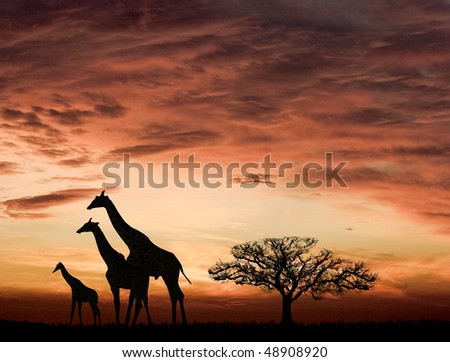 Sunset and the giraffes in Africa - stock photo