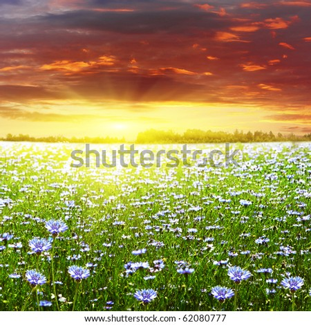 Sunset and white field with cornflowers. - stock photo
