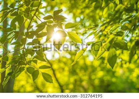 Sunset Backdrop of green fresh summer leaves background with sun light bright  - stock photo