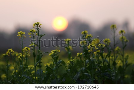 Sunset behind a Mustard field in bangladesh - stock photo
