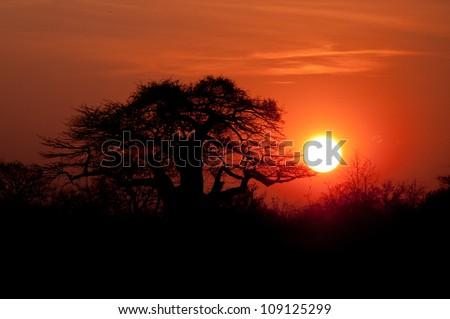 Sunset behind the mighty African Baobab Tree, Ruaha National Park, Tanzania. - stock photo