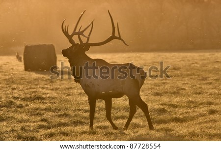 Sunset Elk Bull Saskatchewan Canada Yellow bugle - stock photo