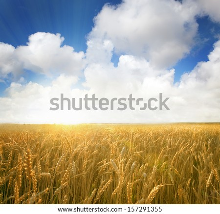 sunset in a wheat