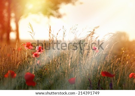 Sunset in field of red poppy flowers - stock photo