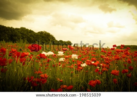 Sunset in horizon covering field of wild white and red flowers - stock photo