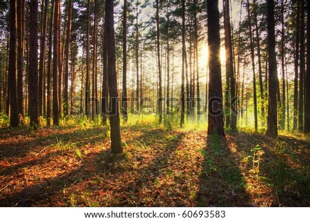 sunset in the forest - stock photo