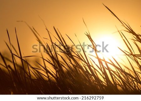 sunset in the reeds on the nature - stock photo