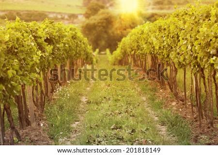sunset in vineyards - stock photo