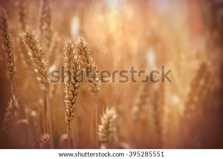 Sunset in wheat field - stock photo