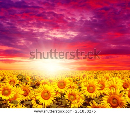 sunset landscape at sunflower field  - stock photo
