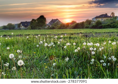 sunset light in green grass and white dandelions in summer field - stock photo