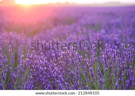 sunset lights on lavender farm - stock photo