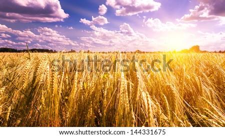 sunset on barley field - stock photo