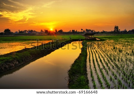 Sunset on green rice farm - stock photo