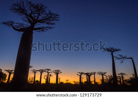 Sunset on the Baobab Alley of Morondava, western Madagascar - stock photo