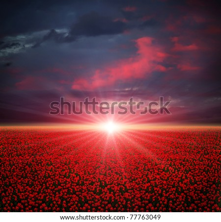 Sunset on the blooming red tulips field - stock photo