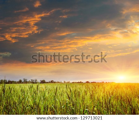 sunset on the field of wheat. Composition of nature - stock photo