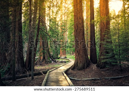Sunset on the Forest Path, Sequoia National Park, California  - stock photo