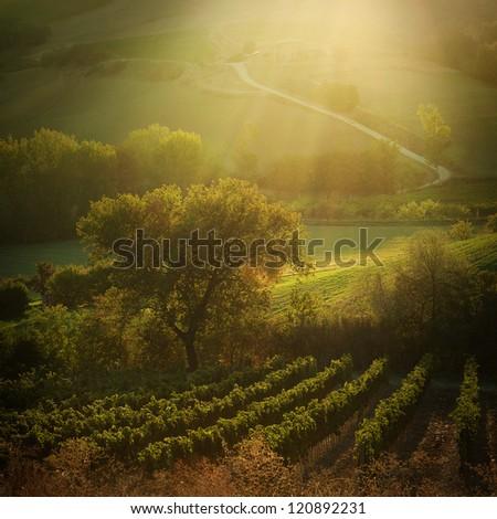 Sunset on Tuscany vineyards, Italy | late September - stock photo