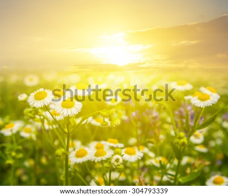 sunset over a camomile field - stock photo