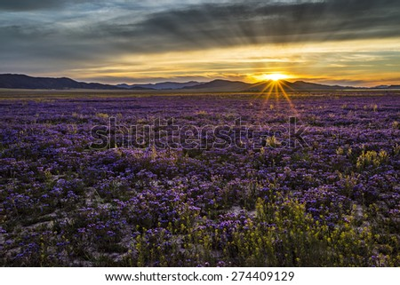 sunset over a field of flowers - stock photo