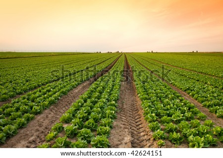 sunset over a field of lettuce - stock photo