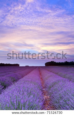 Sunset over a summer lavender field in Provence, France - stock photo