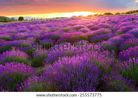 Sunset over a summer lavender field in Tihany, Hungary - stock photo