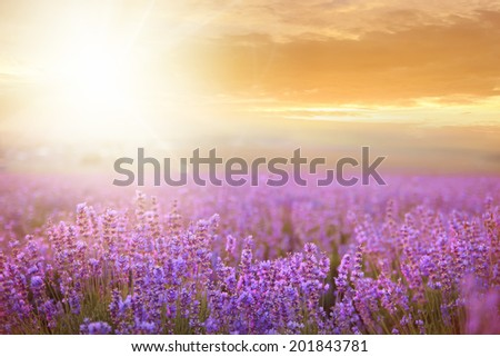 Sunset over a summer lavender field, looks like in Provence, France. - stock photo