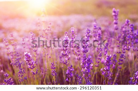 Sunset over a violet lavender field in Provence, France