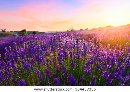 Sunset over a violet lavender field in Provence, France - stock photo