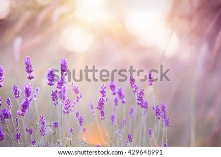 Sunset over a violet lavender field in Provence, France.Lavender field closeup. Blooming lavender. - stock photo