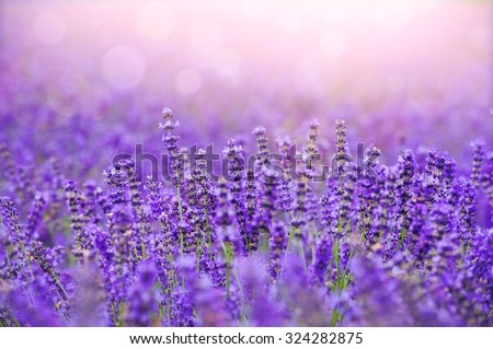 Sunset over a violet lavender field in Provence,Hokkaido - stock photo