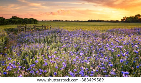 Sunset over a wild flowers in Cornwall in England. - stock photo