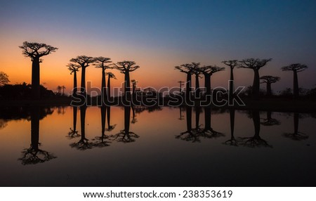 Sunset over Alley of the baobabs, Madagascar  - stock photo