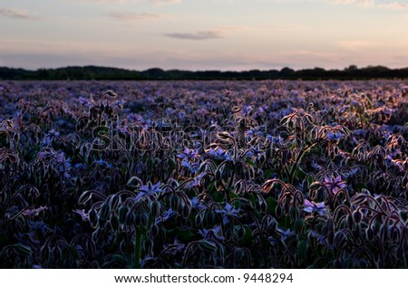 Sunset over borage field, Dauphin, Manitoba, Canada.