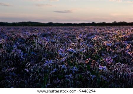 Sunset over borage field, Dauphin, Manitoba, Canada. - stock photo