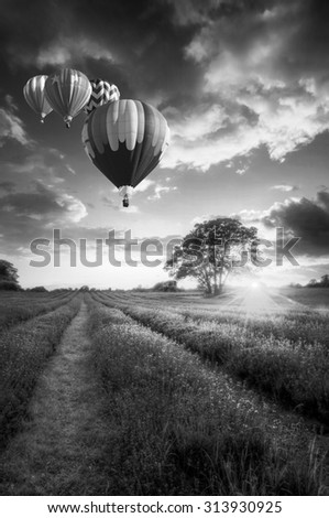 Sunset over vibrant lavender fields in landscape with hot air balloons flying high in black and white - stock photo