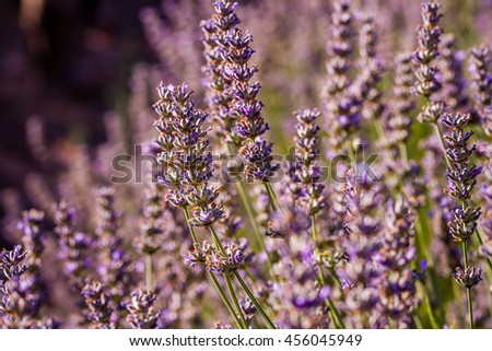 Sunset over violet lavender field in Turkey in summer time - stock photo