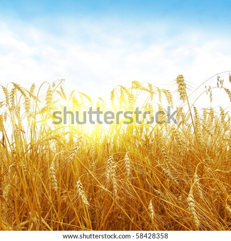 Sunset over wheat field. - stock photo