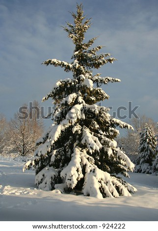 Sunset pine after the snow storm - stock photo