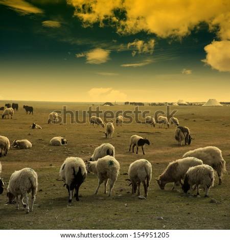 Sunset Sheep - stock photo