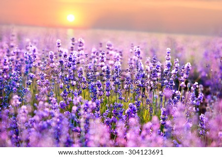 Sunset sky over a summer lavender field. - stock photo