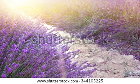 Sunset sky over a summer lavender field. Lavender bushes closeup on sunset. Sunset gleam over purple flowers of lavender. Provence region of france. - stock photo