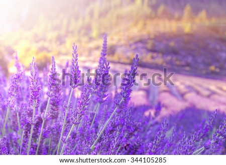 Sunset sky over a summer lavender field. Sunset over a violet lavender field in Provence, France - stock photo