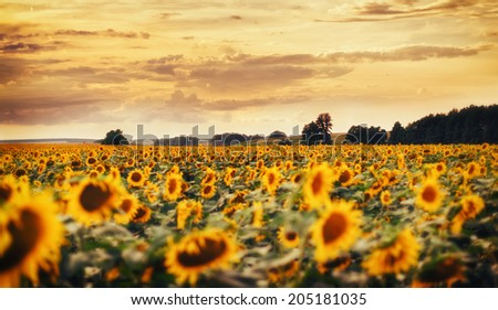 Sunset sunflower / Sunset over a Sunflower field