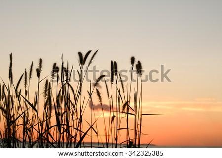 sunset/sunset light with grass flower. - stock photo