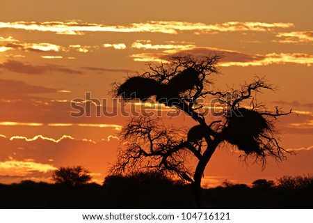 Sunset with silhouetted African Acacia tree and clouds, Kalahari desert, South Africa - stock photo