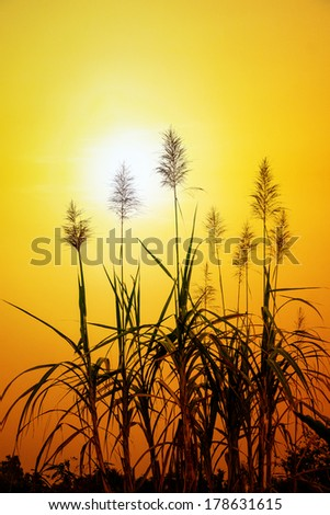 Sunset with sugar cane flower - stock photo